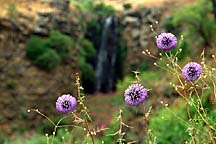 [ Flowers in the Golan ]
